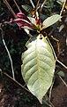 Graptophyllum pictum 03.JPG