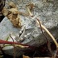 Grasshopper nymph, subfamily. Oedipodinae (45597174972).jpg