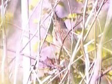 Fichier: Grasshopper warbler94.ogv