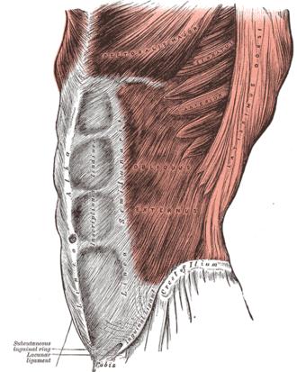 Abdominal external oblique muscle - The obliquus externus abdominis