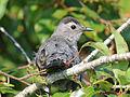Gray Catbird RWD.jpg