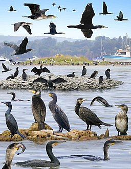 Great Cormorant from the Crossley ID Guide Britain and Ireland
