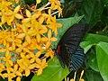 Great Mormon (Papilio memnon) (6761299819).jpg