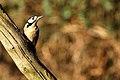 Greater Spotted Woodpecker - RSPB Sandy (12269710155).jpg