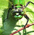 Green Dragon (2716896391).jpg