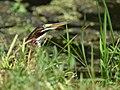 Green Heron (juvenile) (35225110780).jpg