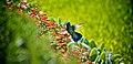 Green Violetear Hummingbird.jpg