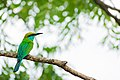 Green bee-eater (Merops orientalis) at Willpattuwa national park.jpg