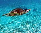 Green turtle in Kona 2010.jpg