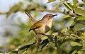 Grey-backed Camaroptera, Camaroptera brachyura, Chobe National Park, Botswana (32412425802).jpg
