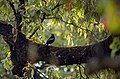 Grey-winged Blackbird Turdus boulboul male JEG8855.jpg
