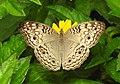 Grey Pansy Junonia atlites by Dr. Raju Kasambe DSCN0114 (5).jpg