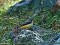 Grey Wagtail (Motacilla cinerea) (21270948636).jpg