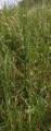 Grossenlueder Mues Kalkberge Allium Gall b.png