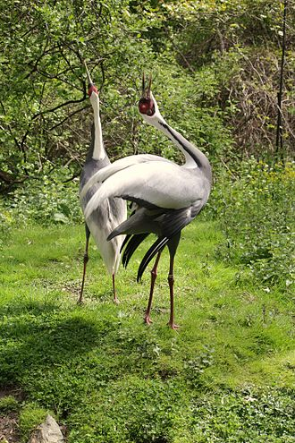 "Bird vocalization - A mated pair of white-naped cranes (Grus vipio) performing a ""unison call,"" which strengthens the pair bond and provides a territorial warning to other cranes."