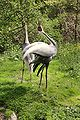 Grus vipio at the Bronx Zoo 006.jpg