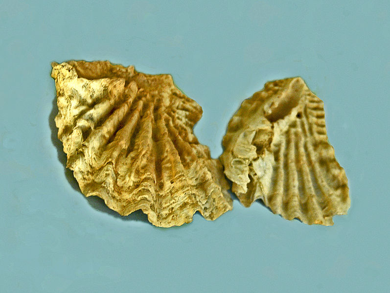 File:Gryphaeidae - Hyotissa semiplana.JPG