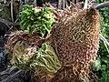 Gunnera tinctoria or giant rhubarb - geograph.org.uk - 741395.jpg
