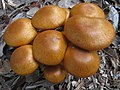 Gymnopilus junonius (Fr.) P.D. Orton 288708.jpg