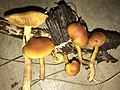 Gymnopilus sapineus group 696705.jpg