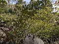 Gymnosporia konkanensis (13062331884).jpg