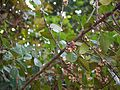 Gymnosporia rothiana (5460539077).jpg