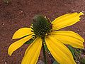 H20120823-5341—Rudbeckia californica--RPBG (31916044310).jpg
