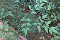 HK 上環 Sheung Wan 卜公花園 Blake Garden plants compound leaves October 2017 IX1 05.jpg