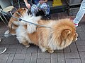 HK 西營盤 Sai Ying Pun 正街 Centre Street 第一街 First Street 龐物犬 pet dogs 鬆獅犬 Chow Chow 獅子狗 November 2018 SSG 02.jpg
