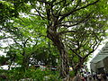 HK TST Nathan Road green Sidewalk Chinese Banyan trees Aug-2015 DSC (9).JPG