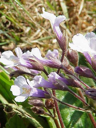 Gesneriaceae - Haberlea rhodopensis flowers