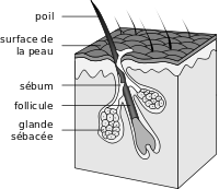 Hair follicle-fr.svg
