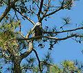 Haliaeetus leucocephalus nest in Pinus taeda.jpg