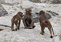 Hamadríade (Papio hamadryas), Tierpark Hellabrunn, Múnich, Alemania, 2012-06-17, DD 05.JPG