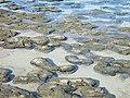 Hamelin pool stromatolites 18-4-2004 - panoramio.jpg
