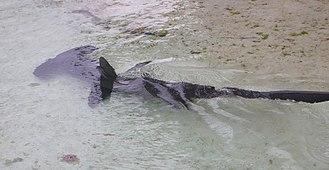 Hammerhead shark - A hammerhead shark at Atlantis Paradise Island