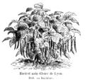 Haricot nain Gloire de Lyon Vilmorin-Andrieux 1904.png