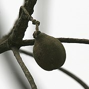 Harra (Terminalia chebula) hanging fruit at 23 Mile, Duars, WB W IMG 5902.jpg