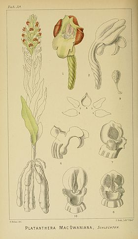 Harry Bolus - Orchids of South Africa - volume I plate 059 (1896).jpg