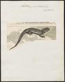 Hatteria punctata - 1868 - Print - Iconographia Zoologica - Special Collections University of Amsterdam - UBA01 IZ12600001.tif