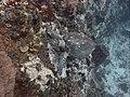 Hawksbill sea turtle in Martinique.jpg