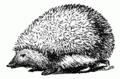Hedgehog Drawing.png