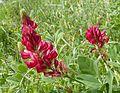 Hedysarum coronarium Italian Sainfoin - Flickr - gailhampshire.jpg