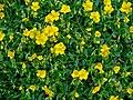 Helianthemum nummularium ssp. grandiflorum 001.JPG
