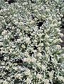 Helichrysum gossypinum kz5.JPG