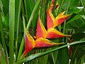 Heliconia caribea x bihai, Heliconiaceae (9534787147).jpg