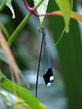 Helicopter Damselfly - Flickr - treegrow.jpg