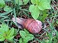 Helix pomatia (13783951703).jpg