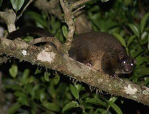Lemur-like ringtail possum - In Queensland, Australia