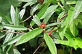Hemidesmus indicus at Beechanahalli 2014 (1).jpg
